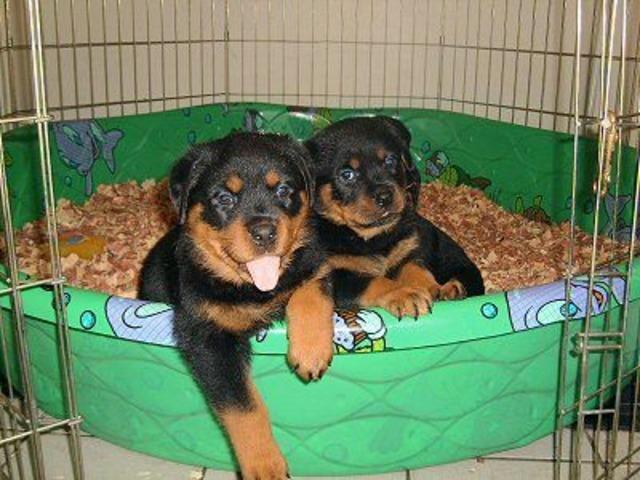 Cute Rottweiler Puppies Animals Arkansas City Arkansas