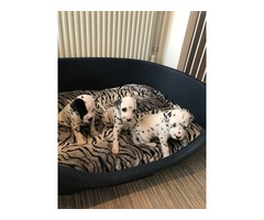 Kc Reg Dalmatian Puppies