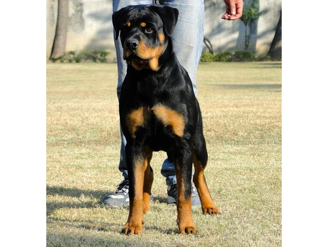Cute Male And Female Rottweiler Puppies Animals Indianapolis