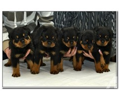 Cute Rottweiler Puppies