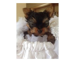 Male And Female Yorkie Puppies For Adoption.Call/text (443) 973-8224