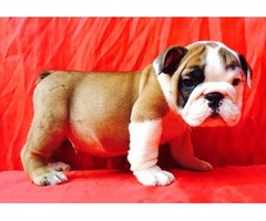 100% pure breed English Bulldog puppies.