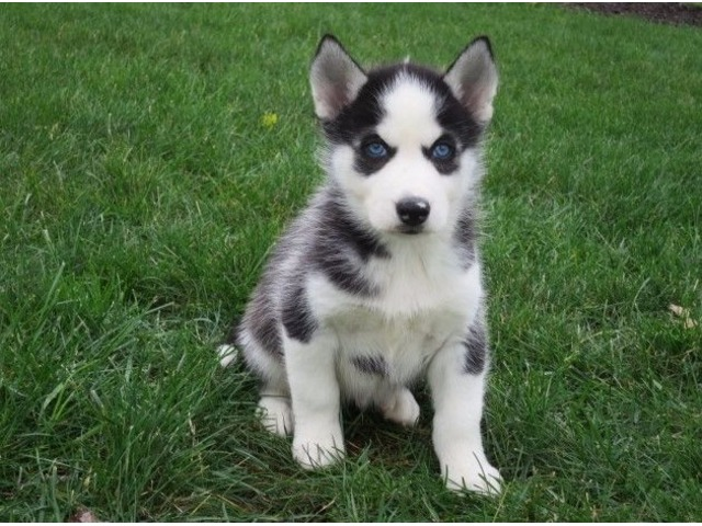 These Adorable Siberian Husky Pups Are Both Playful And Friendly