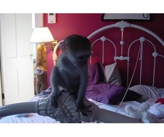 Female Loing Tail Capuchin Monkey for adoption.