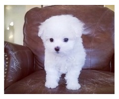 Adorable, Cute & Tiny Maltese Puppies For sale