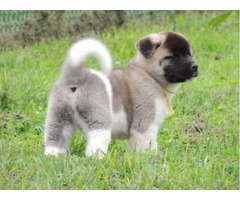 Akc  Female and Male Akita Puppies For sale