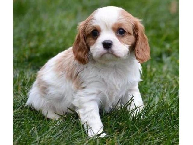 Cavalier King Charles Spaniel Puppies For Sale Animals Newark