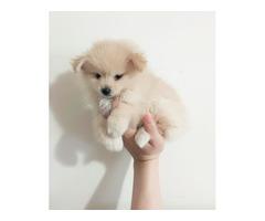 Cream female teacup Pomeranian puppy