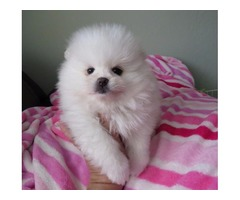 Pomeranian puppies, white
