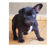 French bulldog puppies for You