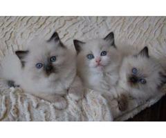 Adorable Ragdol kittens