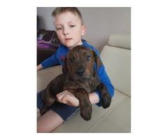 American-bulldog-x-rottweiler-puppy