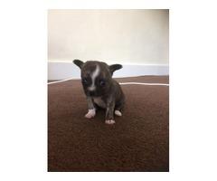 Chihuahua X Pom