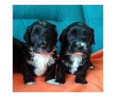 havanese-tibetan-terrier-puppies
