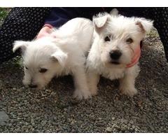 West High Land  puppies