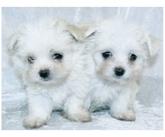 Pedigree Boy and girl Maltese Puppies