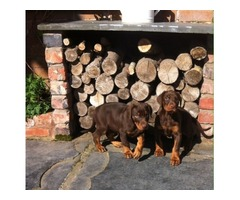 Quality Pedigree Dobermann Puppies