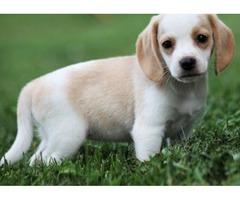 Premier Beagle Puppies