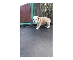 English Bulldog Female