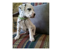 Dalmatian For Excellent Homes