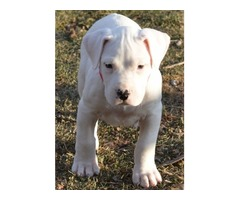 Massive Beauty of Dogo Argentino pups