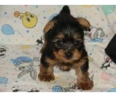 AKC HOME TRAINED YORKIE PUPPIS FOR SALE