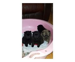 Pomeranian babies available