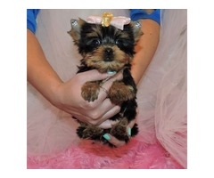 Super cute! Teacup Yorkie toy size
