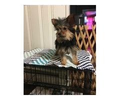 brave chorkie puppies for sale