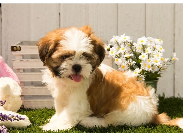 Great Shih Tzu Puppies For Sale Animals Bethel Connecticut