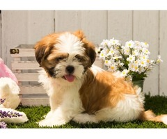 great shih tzu puppies for sale