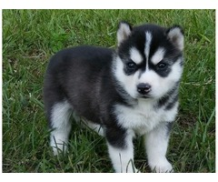 good siberian husky for sale