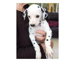 Stunning AKc/ Baer Hearing Tested Dalmatian Pups