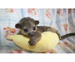 Kinkajou Baby In need of a  Home $300