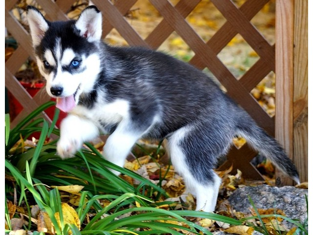 Adorable Blue Eyes Siberian Husky Puppies For Sale Animals