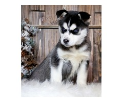 Adorable  Blue Eyes Siberian Husky Puppies For Sale .