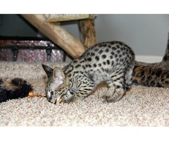 F1 savannah kittens..ready