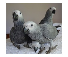 Beautiful and Lovely male and female Congo African Grey Parrots.