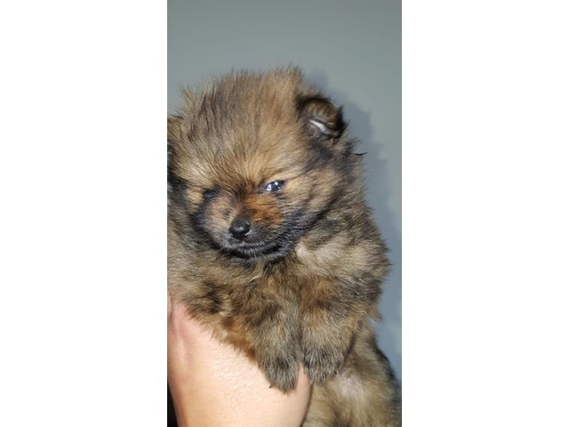 Amazing Pomeranian Babies Available Animals Albany New York