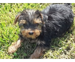 Adorable Yorkshire terrier terrier puppies for new homes