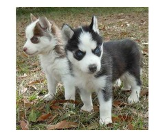 Adorable  Blue Eyes Siberian Husky Puppies For Sale