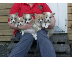 Corgi Puppies.... Ready