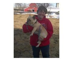 Lost or stolen French Bulldog (Blonde)reward $100.00 | free-classifieds-usa.com
