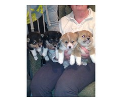 Sweet Corgi Puppies... Ready