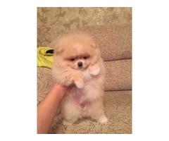 Adorable Pomeranian Pups For Adoption