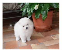 Well Trained Pomeranian For Sale