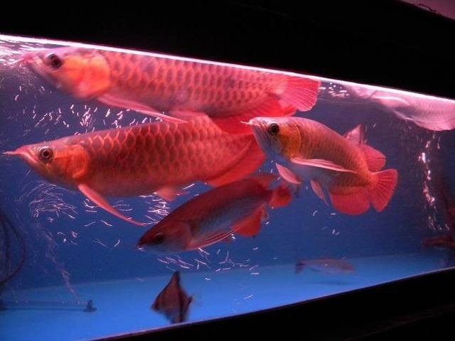 Top Kvalitet Grade AAA Asian Arowana Fishes Til salg-1707