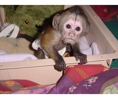 Lovely Capuchin Monkeys for Adortion