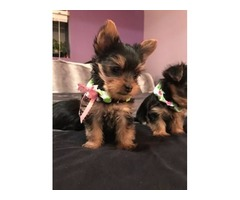 14 weeks old female and male Yorkie terrier that need a change of scenery