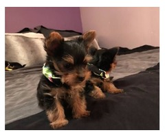 Adorable male and female yorkie pups in need of a new home